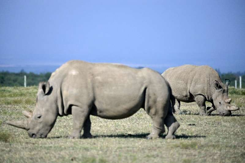 Fatu, right, and her mother Najin are the only two remaining northern white rhinos