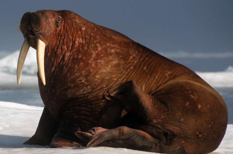 Female and young walruses depend on disappearing Arctic sea ice for food sources