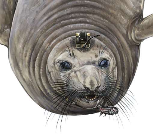 Female northern elephant seals found to forage in the deep sea for up to 18 hours a day