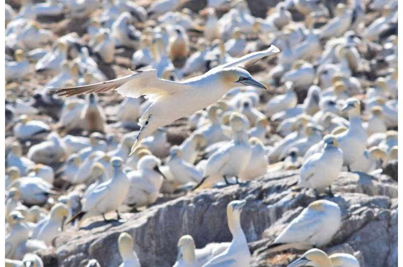Female gannets go the extra mile to feed chicks