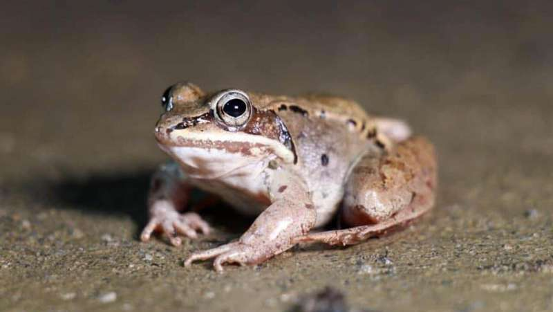 Fewer frogs died by vehicles in the outset of the pandemic, study finds