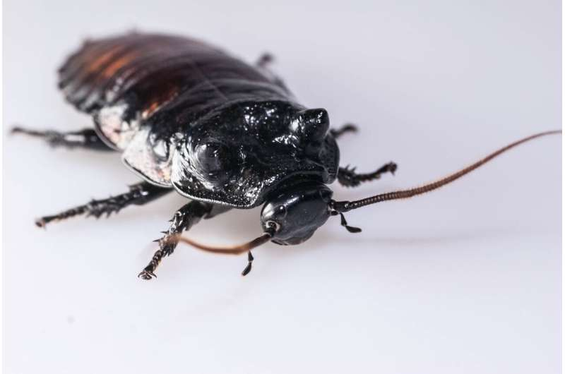 Fighting fit cockroaches have 'hidden strength'
