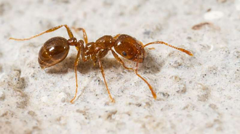 Fire away: Removing imported red fire ant could boost burrow ecosystems