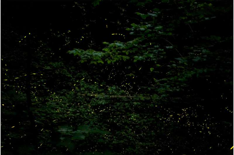 Fireflies found to interact locally through an active network of visual connections to flash in unison