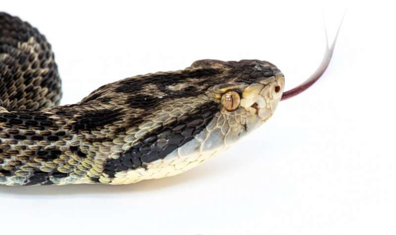 First genetic sequencing of Brazilian pit viper is completed