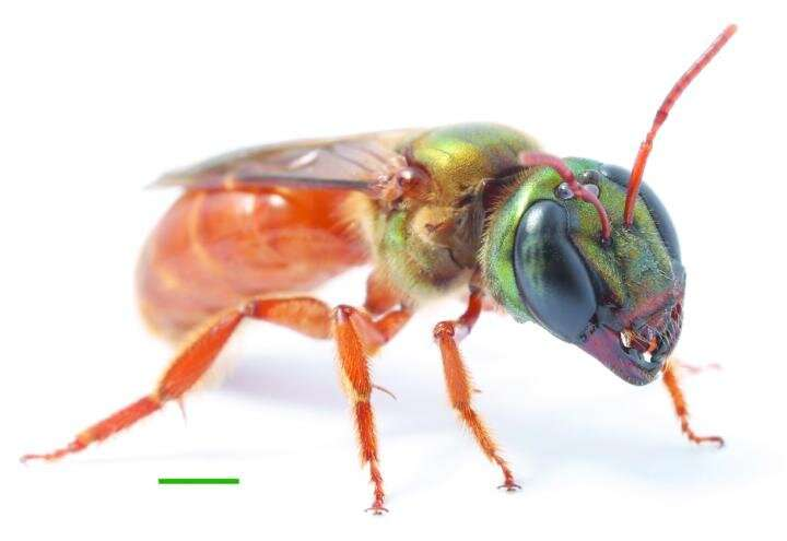 First report of dorsal navigation in a flying insect