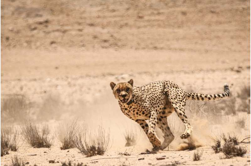 First reported case of anthrax in wildlife in the namib desert: infected zebra most likely causes death of 3 cheetahs