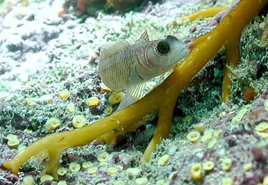 Fish adapt to ocean acidification by modifying gene expression