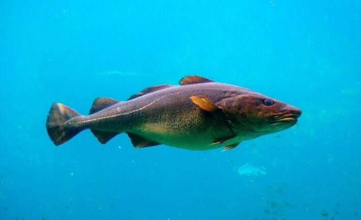 Fish in warming Scottish seas grow faster but reach a smaller size