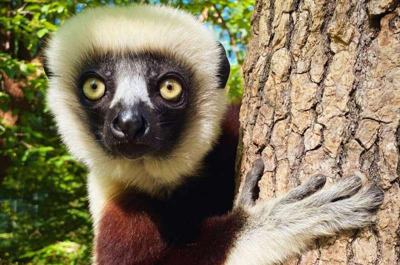 Eine flexible Ernährung kann blattfressenden Lemuren helfen, der Entwaldung zu widerstehen