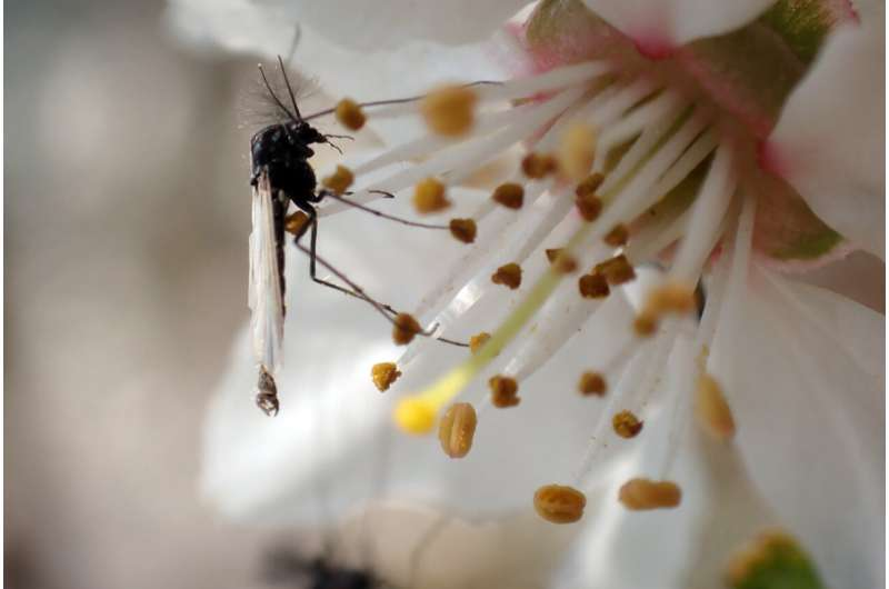 Flies grow bigger up north: Insect size a promising new proxy for palaeoclimate
