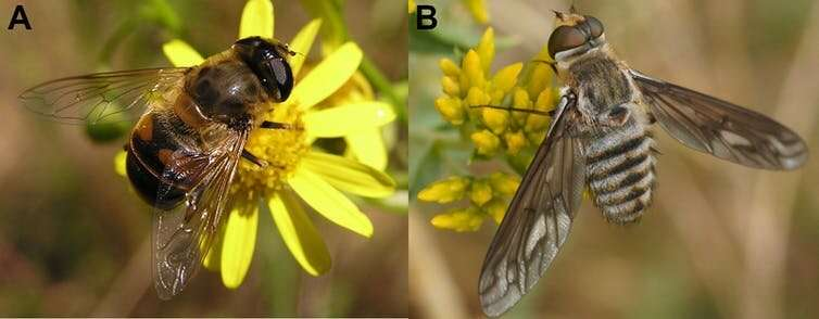 Flies like yellow, bees like blue: how flower colours cater to the taste of pollinating insects