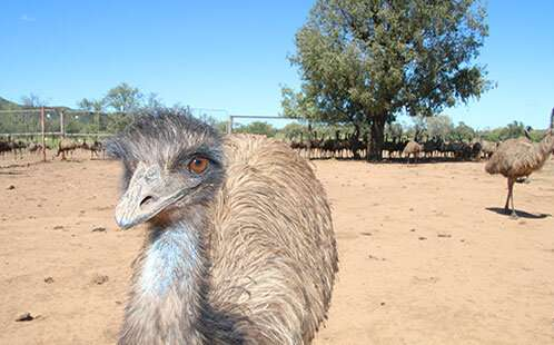 Flight or fright: what is the future of the emus of east coast Australia?