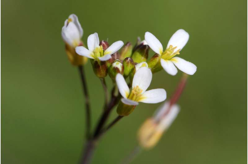 Flowering rooted in embryonic gene-regulation