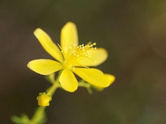 Flowers of St. John's Wort serve as green catalyst