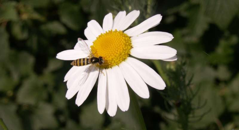 Flowery diets help predatory insects help farmers keep pests in check