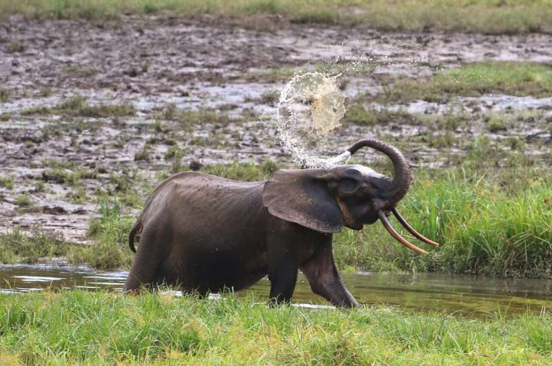 Forest elephants are now critically endangered -- here's how to count them