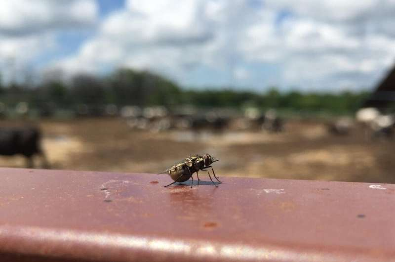 Forget the fly swatter: Biologists map genes to fight stable flies
