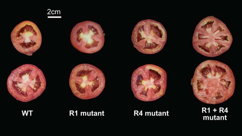 Para los genes del tomate, uno más uno no siempre hace dos