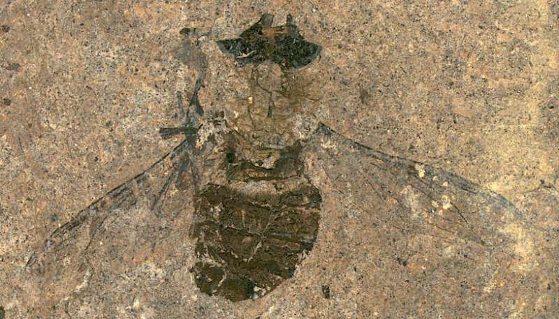 Fossilized feeding frenzy: 47-million-year-old fly found with a full belly