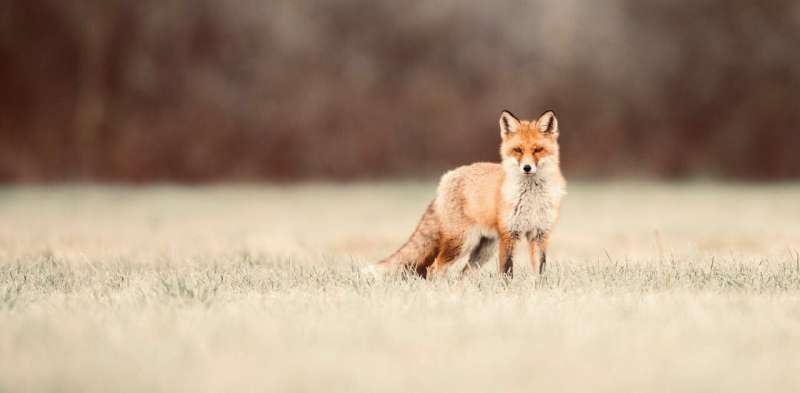Fox scents are so potent they can force a building evacuation. Understanding them may save our wildlife