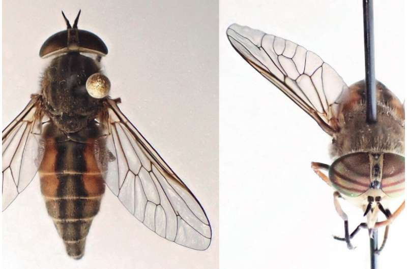Fresh fly found in the fauna of Finland