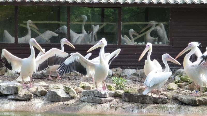 Friendly pelicans breed better