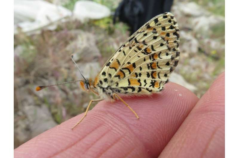 Fritillary butterflies preserve genetic diversity and survive, sporadically interbreeding with their very distant relatives