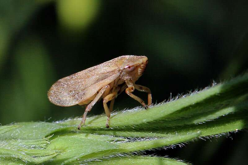 Froghoppers able to suck with enough force to draw up liquid in a vertical straw 100m long