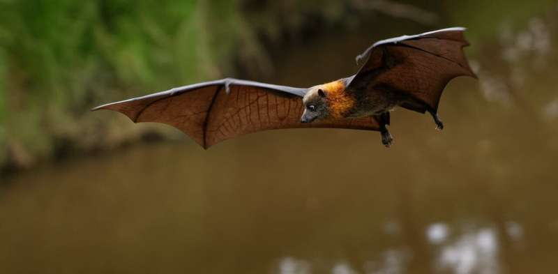 Fruit bats are the only bats that can't use echolocation. Now we're closer to knowing why