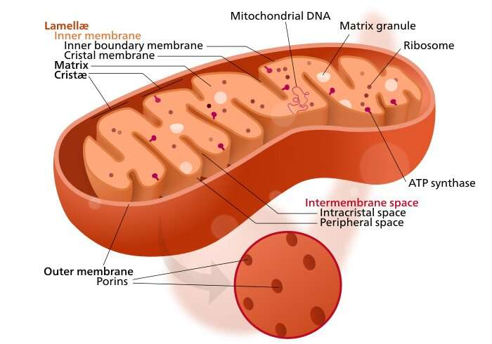 Full mitochondrial control  for the ultimate anticancer biohack