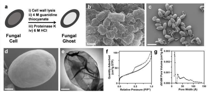 'Fungal ghosts' protect skin, fabric from toxins, radiation