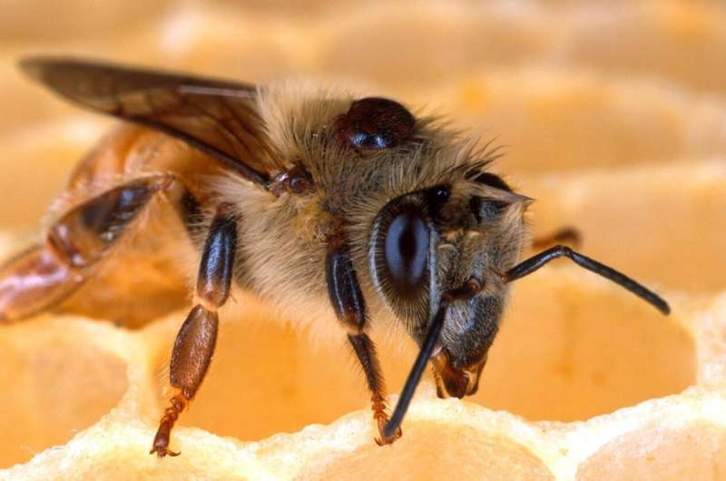 Fungus fights mites that harm honey bees