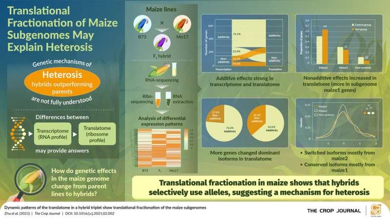 Gained in translation: Subgenome fractionation determines hybrid vigor in maize