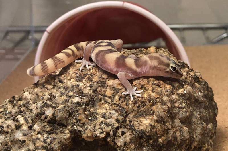 Geckos might lose their tails, but not their dinner