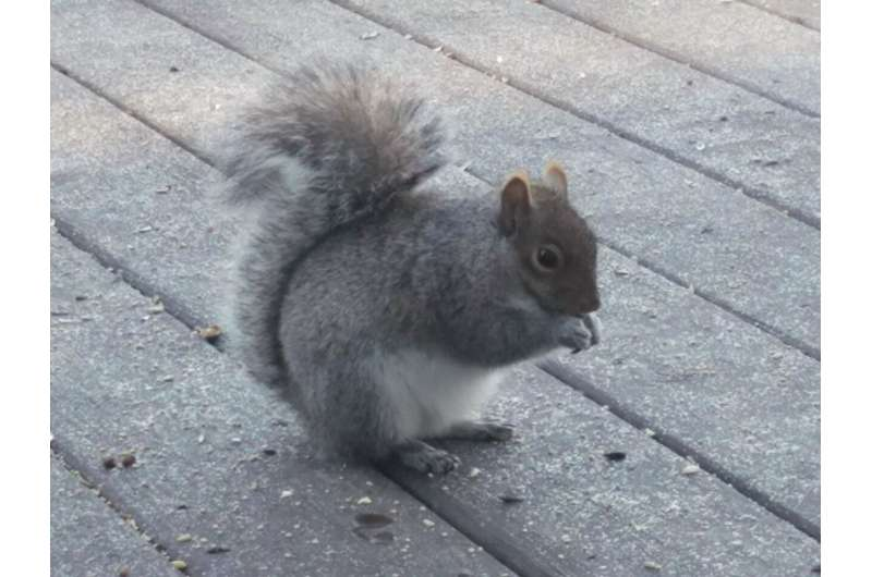 Gene drives may help control invasive grey squirrel in the UK