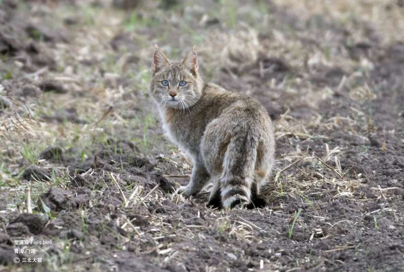 Genetic study shows Chinese mountain cat not an ancestor of domesticated housecats
