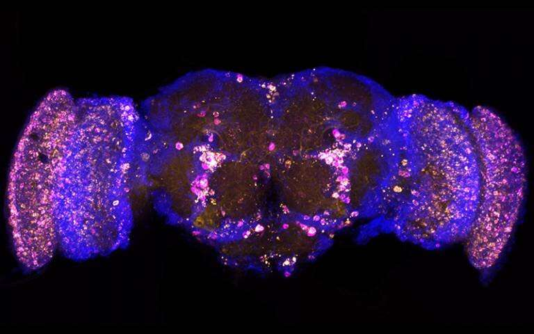 Genetic treatment extends fruit fly lifespan and prevents Alzheimer's damage