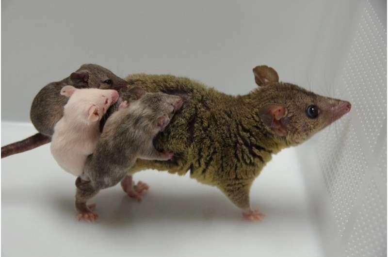 Genome editing meets marsupials