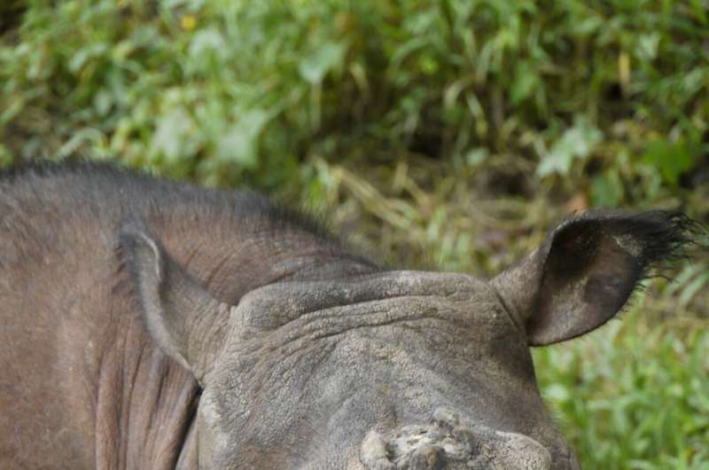 Genome sequencing delivers hope and warning for the survival of the Sumatran rhinoceros