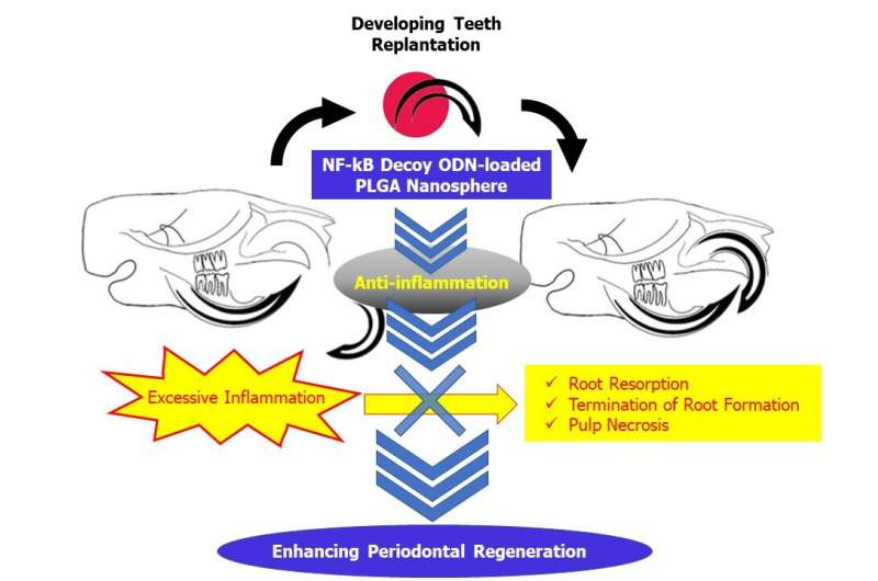 Getting to the root of tooth replantation challenges