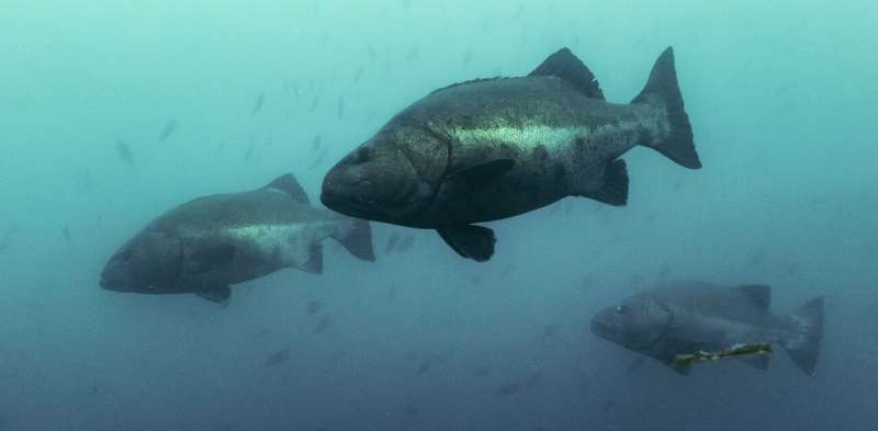 Giant sea bass are thriving in Mexican waters – scientific research that found them to be critically endangered stopped at the U