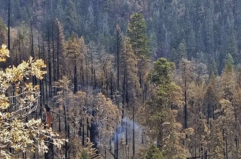 Giant sequoia still smoldering from 2020 California wildfire
