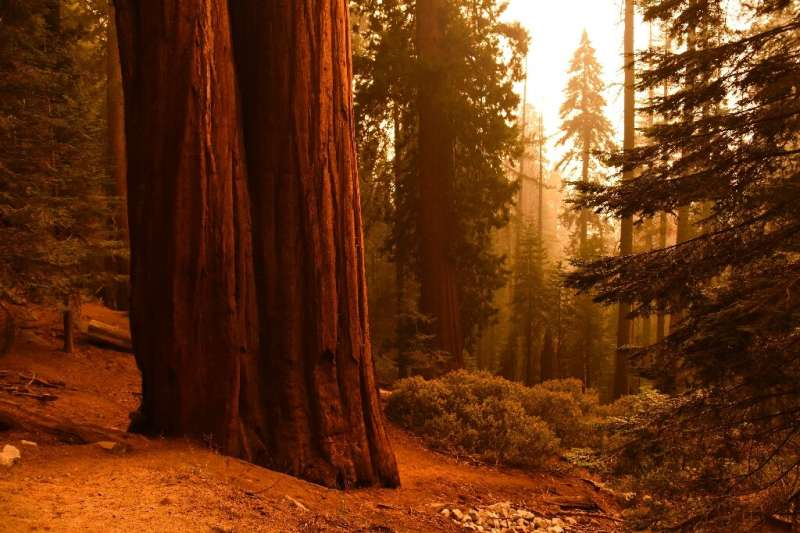 Giant sequoia trees are the largest trees in the world, but are still vulnerable to the terrifying wildfires raging through Cali