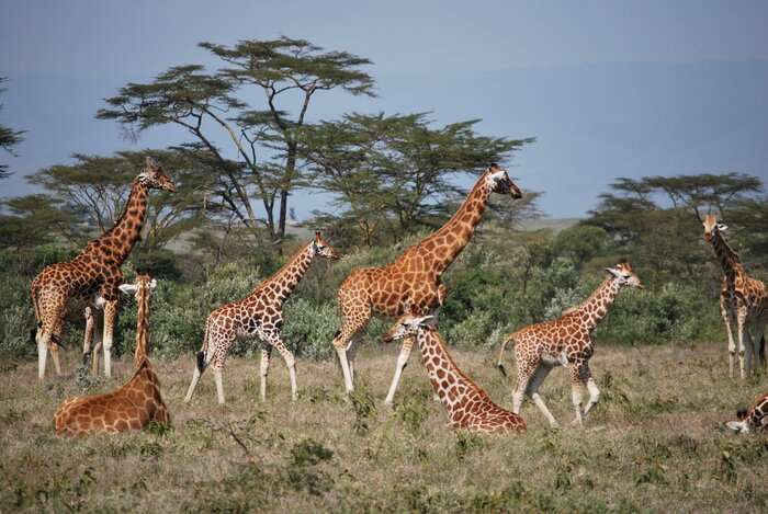 Giraffes are as socially complex as elephants, study finds