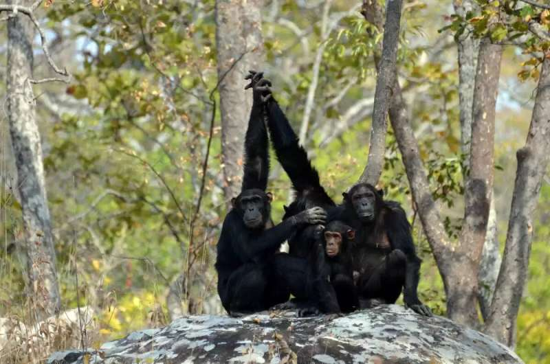Global change: a tight squeeze for African great apes