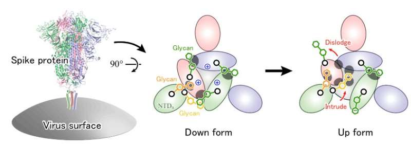 Glycans are crucial in COVID-19 infection