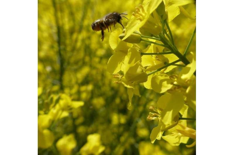 Buena comida en un entorno agradable: las abejas silvestres necesitan diversos paisajes agrícolas