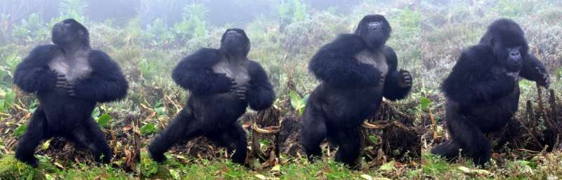 Gorillas do not bluff when they chest beat: honest signalling indicates body size