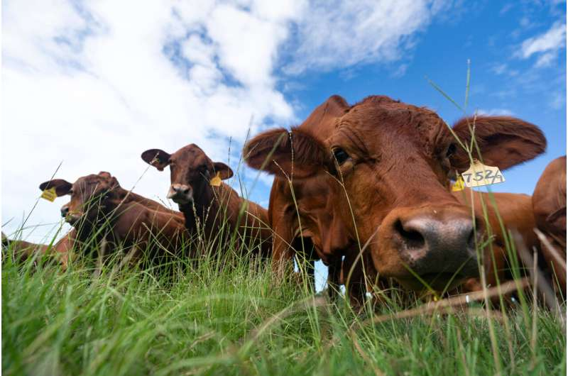 Grazing cattle can reduce agriculture's carbon footprint